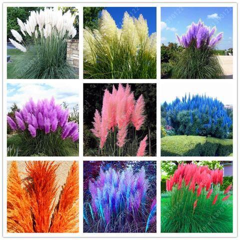 1200 pcs/package PAMPAS GRASS seeds ,rare reed flower seeds for home garden planting Selloana Seeds Garden decoration DIY