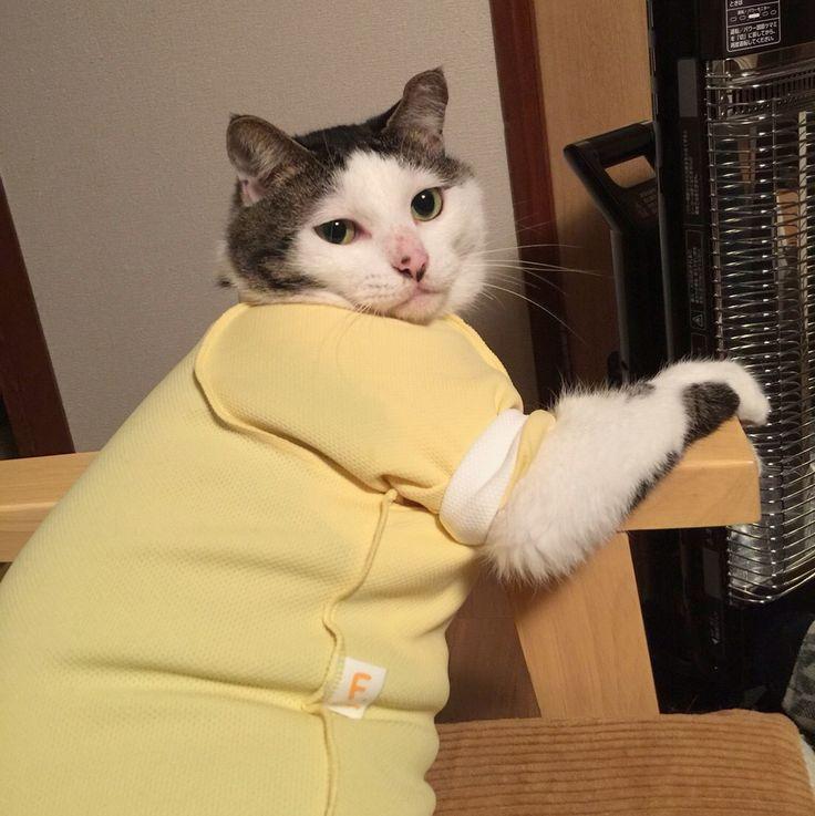 マリちゃん( @inaho_cat )が遊びに来たよ♩ 去年から約束してた手塚治虫記念館に行った帰りに、せっかく伊丹の方まで来たからハッチャンおこちゃんに会いに来てくれた❤︎ おこちゃんは、マリちゃん見るなりお腹見せて足もとにゴロンゴロンw ハッチャンも隠れる事なく、自分からマリちゃんに寄ってった‼︎ 4枚目〜10枚目→→→ マリちゃんから見たハッチャンおこちゃん❤︎ 9枚目→→→ たまたま早く帰ってきたお父はんに、マリちゃんのこと紹介できたし良かったなぁ〜♩ (※昼間のハッチャンの説明写真にコメント頂きありがとうございました♩DMの方にも、アンリッカラーとエリザベスウエアに関する質問などがきたので、改めてまた詳しく投稿とお返事しますね〜\⍢⃝/) #八おこめ #ねこ部 #cat #ねこ #猫 #ネコ #エリザベスウエア