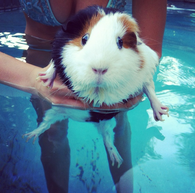 Swimming guinea pigs are the cutest/funniest things!