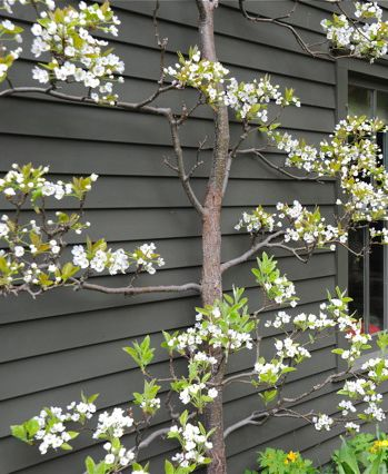 Espaliered Asian Pear. Love the contrast with the grey shed / repinned on Toby Designs