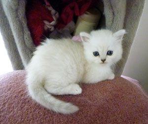 Razas de gatos: Burmilla