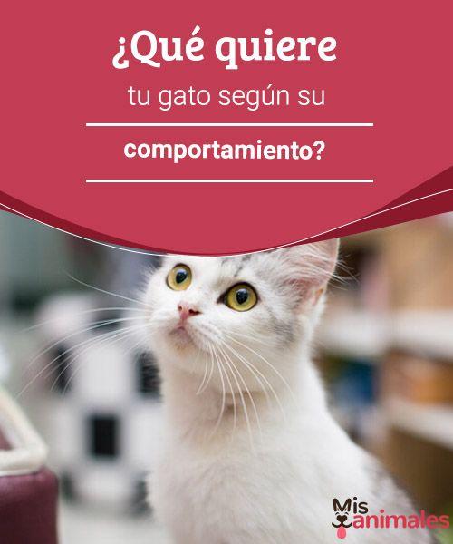 ¿Qué quiere tu gato según su comportamiento?   ¿Sabes qué quiere tu gato según su comportamiento? Si tienes muchos años de convivencia con estas fantásticas mascotas seguramente concoces la respuesta. #comportamiento #gato #conocer #curiosidades