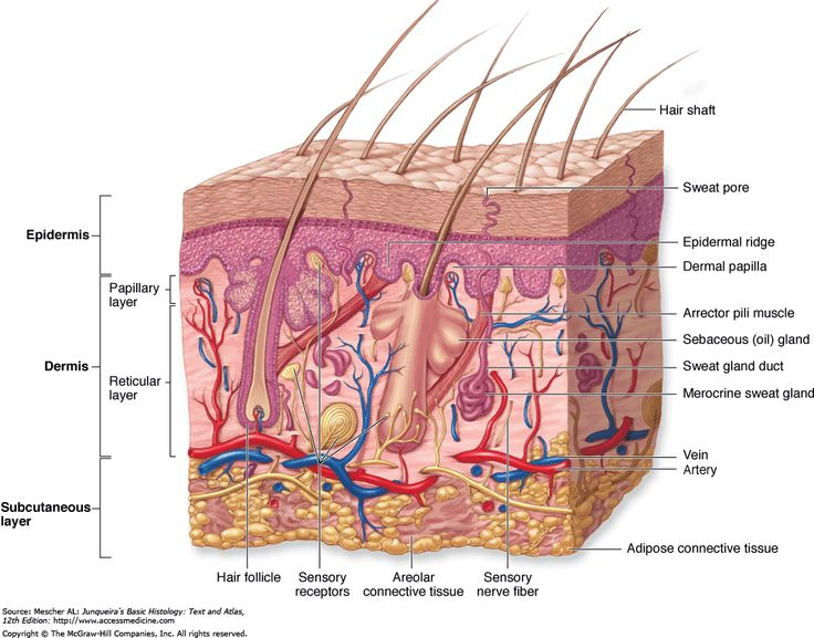 13 best epithelium images on pinterest human anatomy nursing blank skin diagram is only about inches mm thick there are 7 layers in the human skin the epidermis has 3 layers and the der ccuart Choice Image