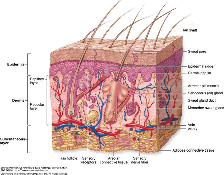 skin structure: epidermis, dermis, subcutis (subcutaneous layer or hypodermis)