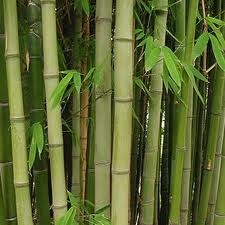 10 Survival Uses for Bamboo