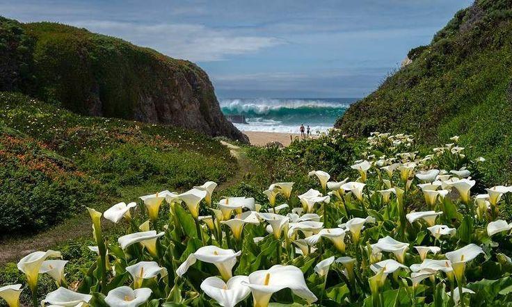 În fiecare primăvară, pe coasta Pacificului, în regiunea Big Sur, California, printre vegetația sălbatică, răsare ca o oază de libertate câmpia calelor sălbatice.Pe fundalul Oceanului Pacific și a apusului de soare care se lasă peste orizont aceste plante crează un spectacol incendiar de culori, care nu poate lăsape nimeni indiferent. Cel mai activ calele înfloresc …