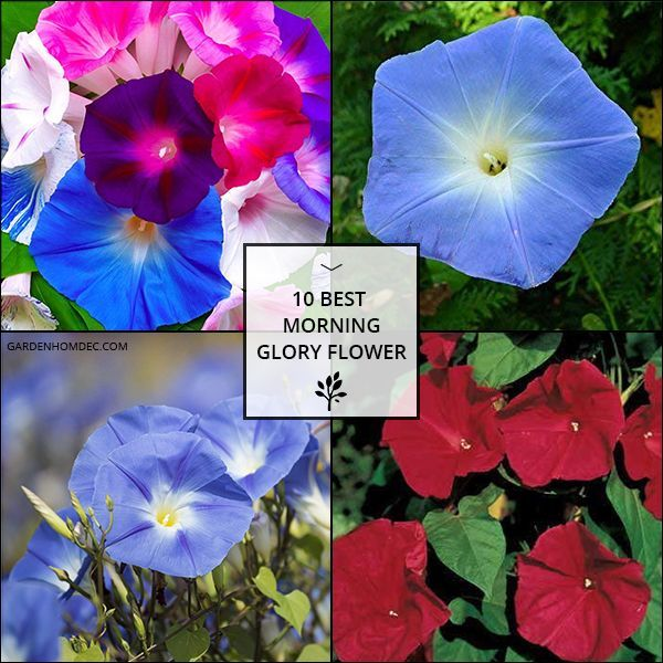 10 Best Morning Glory Flower Morning Glory Flowers Glory