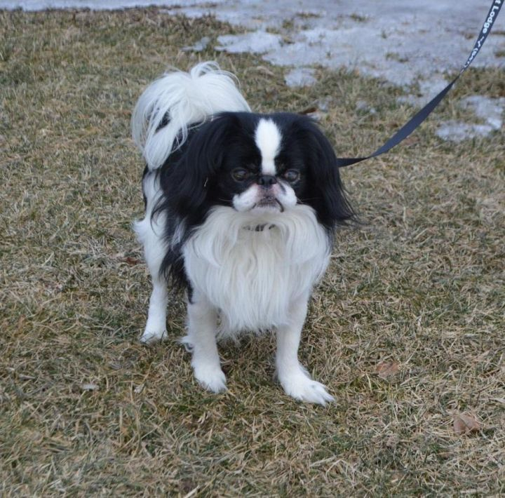 Adopt Wrigley On Petfinder In 2020 Dog Adoption Cute Dog Pictures Japanese Chin Dog