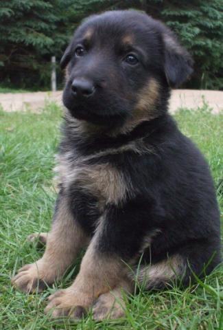 Berger allemand à vendre | Lanaudière - #chiot #berger #cute