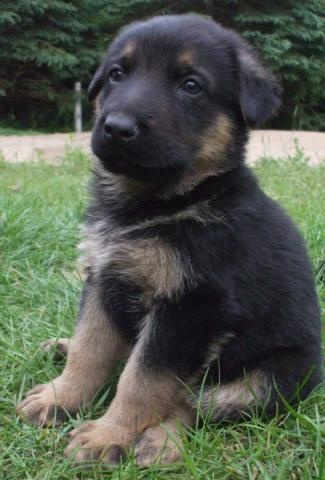 berger allemand vendre lanaudi re chiot berger cute chiens jeanne pinterest. Black Bedroom Furniture Sets. Home Design Ideas
