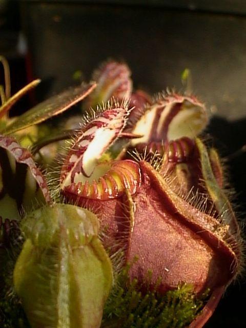 Cephalotus_follicularis001.jpg