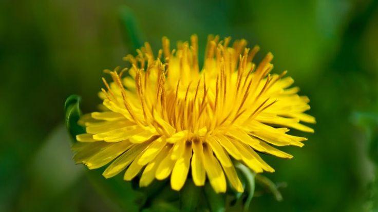 Áster, planta perenne con floración otoñal