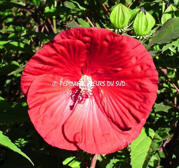 hibiscus moscheutos my valentine flowers from. Black Bedroom Furniture Sets. Home Design Ideas