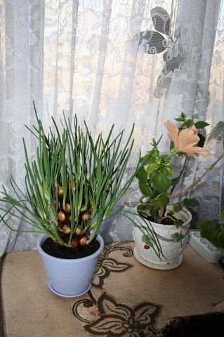 Легкий способ вырастить зеленый лук на подоконнике