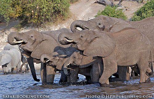 Elephants drinking (Chobe National Park, Botswana) - Botswana travel guide: http://www.safaribookings.com/botswana