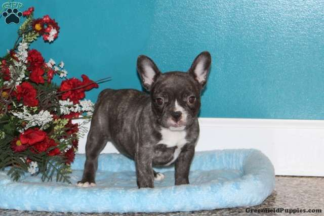 Poppy French Bulldog Puppy For Sale In Pennsylvania Puppies