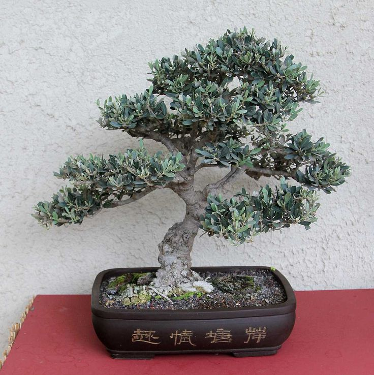 17 Best Images About Bonsai Olivo On Pinterest Trees