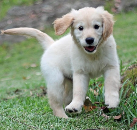 Dog Origins:  Where Do Dogs Come From?: Dogs Origins, Free Pattern, Dogs Originals, Golden Retrievers, Baby, Daily Puppies, Happy Dogs, Happy Puppies, Golden Retriever Puppies