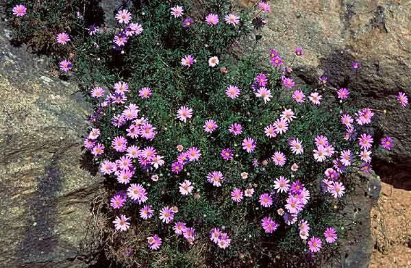 brachyscome multifida  cut leaf daisy  spreading rapidly