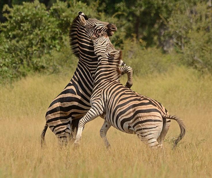 plains zebras doing battle for supremacy.