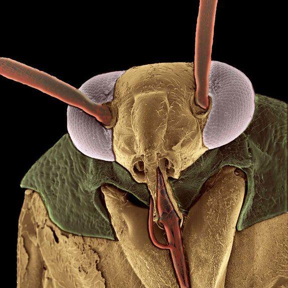 Tarnished Sap Suckers  Credit: Therry The & Marilee Sellers   Northern Arizona University, Page Baluch   W.M. Keck Bioimaging Laboratory   Arizona State UniversityThe Western tarnished plant bug (Lygus Hesperus)