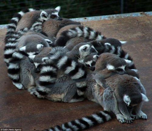 Lovable lumps of Lemurs!