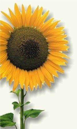 GIRASOL http://www.plantas-medicinal-farmacognosia.com/productos-naturales/girasol/