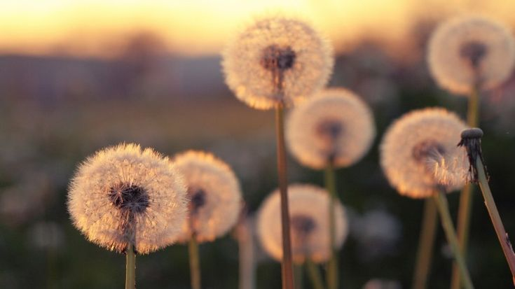 Summer Blurred Dandelions Wallpaper