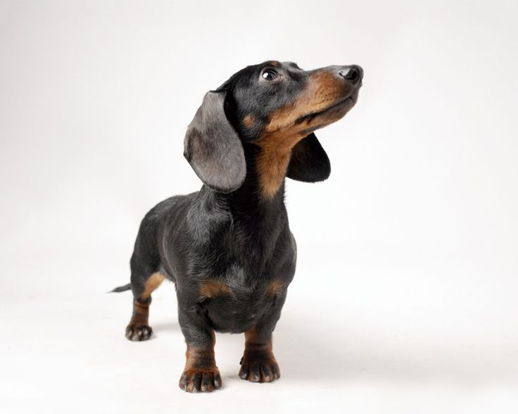 Dachshund » Personality Dog Photographer | The McCartneys Dogs