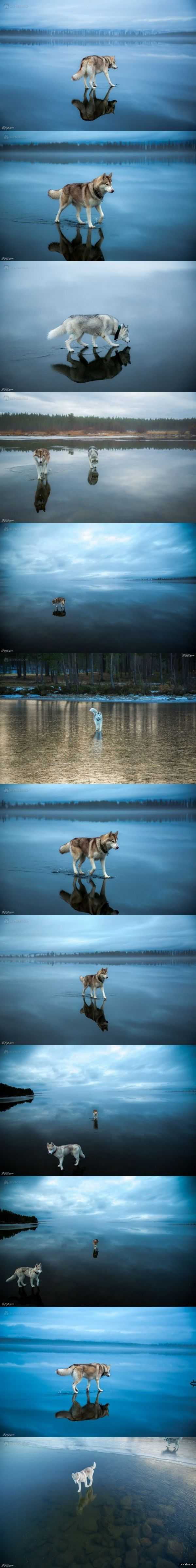 Сибирские хаски гуляют по замерзшему озеру. Очень красиво  сибирский хаски, Озеро, Фото, Собака, красота природы, длиннопост