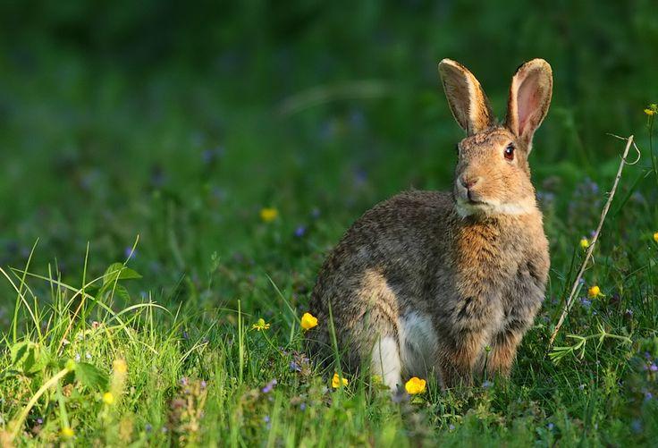 Les 20 meilleures id es de la cat gorie lapin de garenne sur pinterest - Cuisiner le lapin de garenne ...