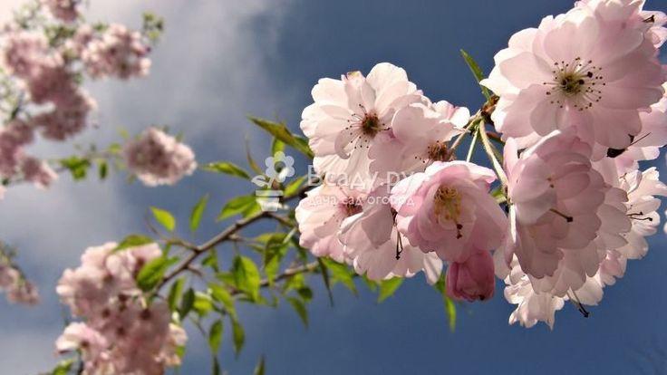 Цветение яблони 'Розовый жемчуг'. Описание сорта