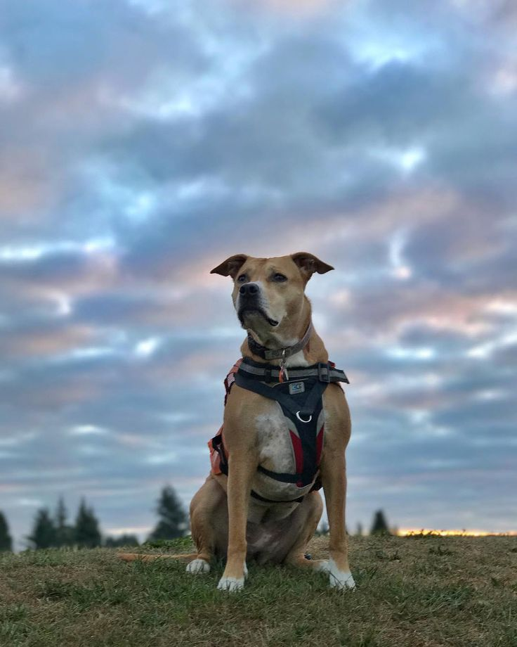 "31 Likes, 2 Comments - Shiba the Pitt (@shiba.the.pitt) on Instagram: ""The ☁️ this morning were 👌. Have a great day friends 😘. #rcpetproducts #kurgodog #sunrise #clouds…"""