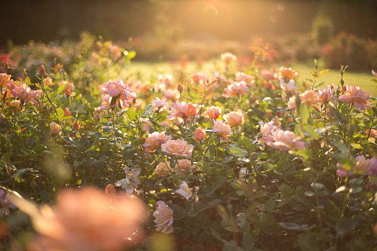 Na poranny spacer Cię zabieram ... Wonią róż czaruje zmysły  Ogród naszych marzeń  Choć kochany niech się ziści Pragnień naszych taniec Płatkiem róży upudruję rozpalone lico  Kroplą rosy zwilżę jeszcze usta Niech upojny zapach mnie unosi Żeby w twych ramionach ustać. (Maryla)
