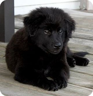 Houston, TX - Border Collie/Australian Shepherd Mix. Meet Walter, a puppy for adoption. http://www.adoptapet.com/pet/11186252-houston-texas-border-collie-mix