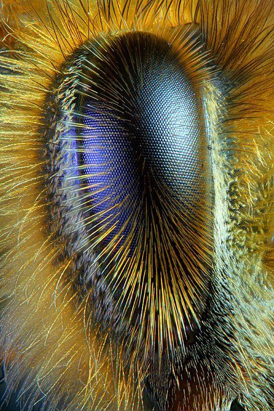 Eye of a honeybee: Honeybee Eye, Close Up, Photo, Honey Bees, Eyes