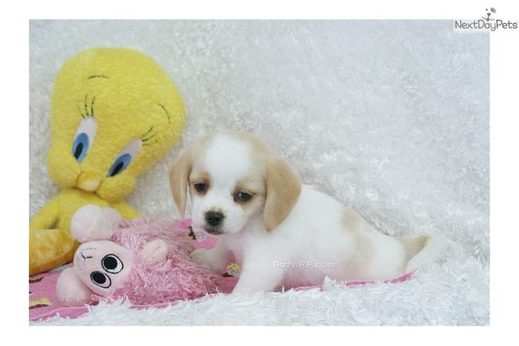 Meet Missy a cute Puggle puppy for sale for $900. Missy, Peagle, Shipping Included