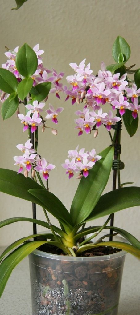 Phalaenopsis equestris #flowers       From Nature Blogger  via Laurie Campbell