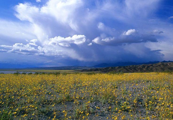 death valley national park   Wüstenblumen im Death Valley National Park