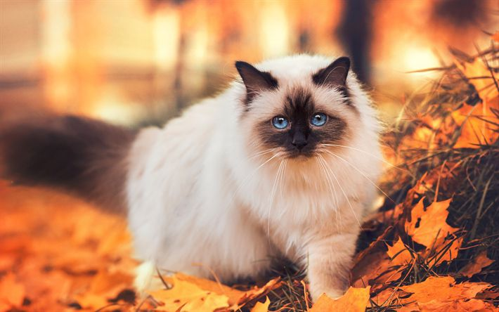 Download wallpapers Siamese cat, autumn, cats, pets, Siamese
