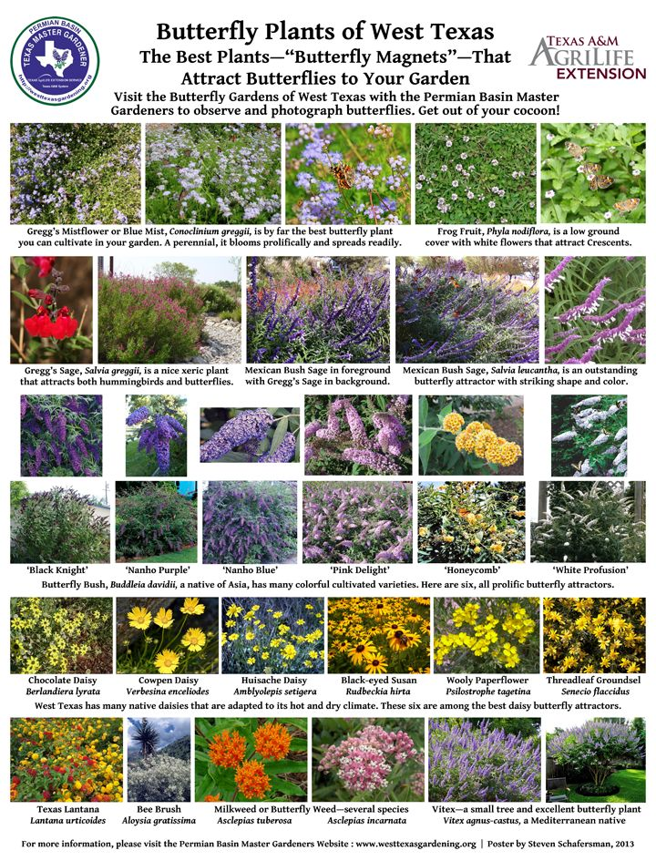 Butterfly Plants Of West Texas