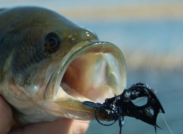 Bass Fly Fishing for Bass http://fishingnew.com/fly-fishing/fly-fishing-for-bass