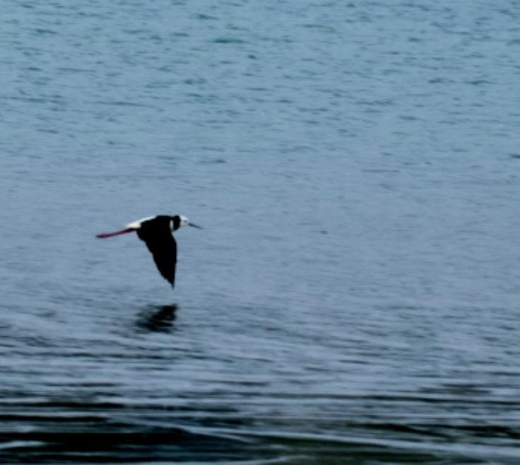 A native Oyster-catcher in flight in Ohiwa harbour