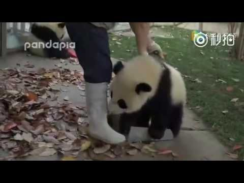 Cute video of Panda's impeding staff member from cleaning their habitat. Funny Panda - YouTube