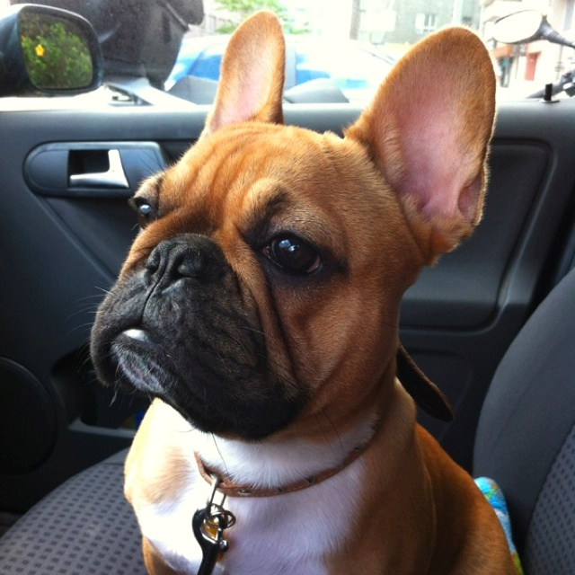 """Hmmmmm, mom said she'd be right back?"" nervous French Bulldog"