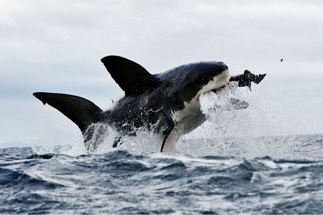 Great White Shark diving @ a seal