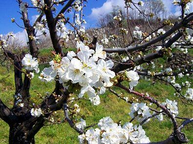 Impresionante paisaje de cerezos en flor de Bolea, Huesca, Spain.