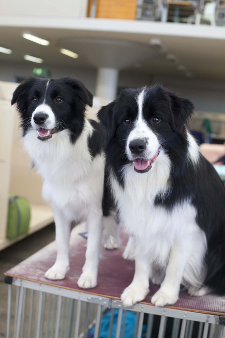 A couple of Border Collies eagerly waiting for their turn