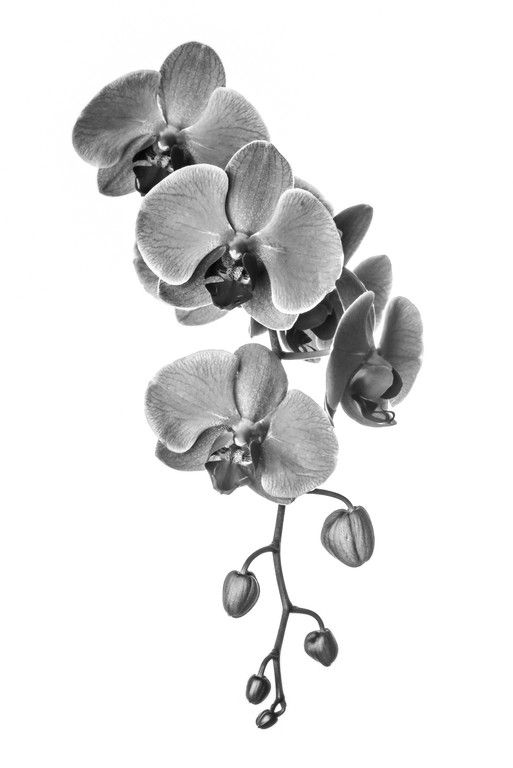 Black and white Orchid print. Perfect floral artwork and home decor. | Available for purchase at LucentCreations.com || #flower #artwork #homedecor #art #photo #gift #giftideas