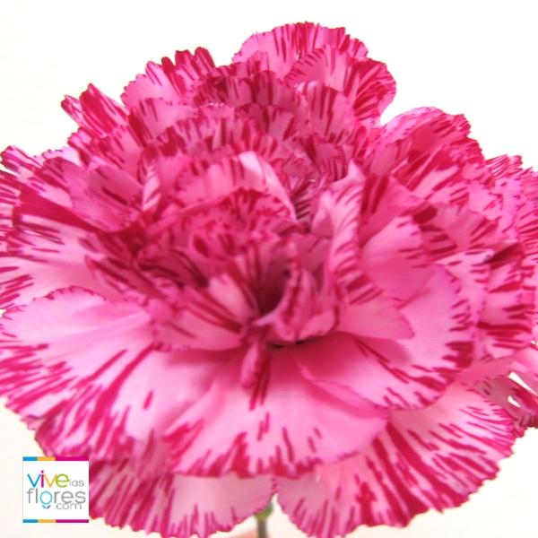 Colores únicos disponibles en Vivelasflores.com. Buscan nuestro clavel bicolor vinotinto.